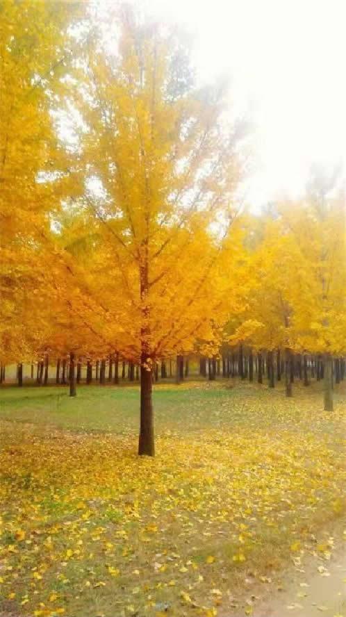 银杏树,银杏树价格,江苏银杏树价格